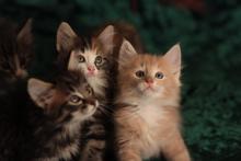 продажа котят норвежской лесной кошки