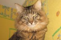 норвежский лесной кот Gerbert