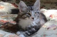 котенок норвежской лесной кошки