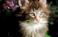 котенок норвежской лесной кошки в Екатеринбурге